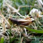 Hopper in the grass
